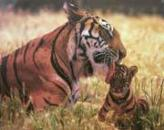 Mother Licking Cub