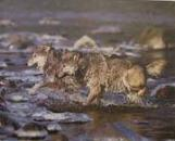 Wolves Crossing River