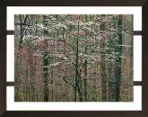 Pink and White Dogwoods Christopher Burkett