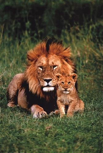 Lion And Cub Animals Hardboards Wall Decor